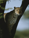 An Alert Leopard in the Fork of a Tree Photographic Print by Roy Toft