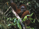 Past-His-Prime Male Orangutan Rests While Holding a Tree Limb Photographic Print by Tim Laman