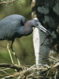 Little Blue Heron (Egretta Caerulea), with Frog, Corkscrew Swamp, Fl Photographic Print