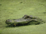 An Alligator Swims Through Duckweed, Elm Lake, Brazos Bend State Park Photographic Print by Raymond Gehman
