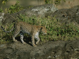 A Leopard on a Rocky Outcropping Photographic Print by Roy Toft