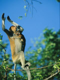 A Baby Proboscis Monkey Clings to its Mother as She Leaps from a Tree Photographic Print by Tim Laman