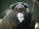 A Portrait of a Debrazzas Monkey Lámina fotográfica por Sartore, Joel