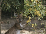 Gray Kangaroo Feeding on Wattle Flowers Photographic Print by Jason Edwards