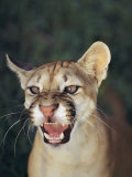 A Portait of a Snarling Puma Photographic Print by Ed George