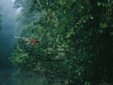 A Proboscis Monkey, Her Infant Holding Tight, Makes a Flying Leap Photographic Print by Tim Laman