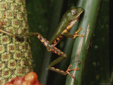 A Phyllomedusa Bicolor Frog Climbs a Plant Photographic Print by George Grall