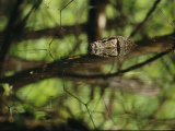 A Non-Native Water Monitor Lizard Swimming on Dimakya Island Photographic Print by Tim Laman