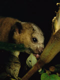 A Kinkajou Laps up Balsa Blossom Nectar from a Hole Created by Parakeets Photographic Print by Mattias Klum