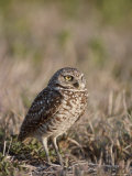 A Burrowing Owl, Athene Cunicularia, in its Grassland Habitat Photographic Print by Tom Murphy