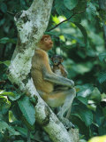 A Proboscis Monkey and Her Four-Week-Old Baby at Rest in a Tree Photographic Print by Tim Laman