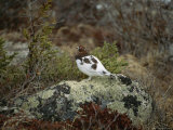 A Willow Ptarmigan Standing on a Lichen Covered Rock Photographie par Norbert Rosing