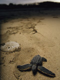 Baby Leatherback Turtle on Beach Near Sand Dollar Photographic Print by Steve Winter