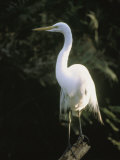 A White Egret Perches on a Tree Stump Photographic Print by Ed George