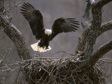 An American Bald Eagle Flies to its Nest Photographic Print by Roy Toft