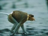 A Male Proboscis Monkey Runs after His Harem Photographic Print by Tim Laman