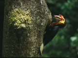 A Male Waldens Hornbill Delivers Food to its Nest Photographic Print by Tim Laman