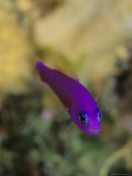 A Brightly Colored Magenta Dottyback Fish Photographic Print by Tim Laman