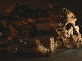 A Two-Million-Year-Old Fossil of Australopithecus Robustus Fotografisk tryk af Kenneth Garrett