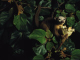 A Kinkajous Face is Covered in Pollen from its Head-Diving Eating Practices Photographic Print by Mattias Klum