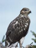 A Ferruginous Hawk, Buteo Regalis Photographie par Tom Murphy