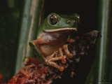 A Close View of a Phyllomedus Bicolor Frog Photographic Print