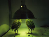 Juvenile Attwaters Greater Prairie-Chickens under a Heating Lamp Photographic Print by Joel Sartore