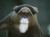 A Portrait of a Debrazzas Monkey Photographic Print by Joel Sartore