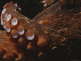 Close View of Octopus Tentacles with Suction Cups Photographic Print by Jason Edwards