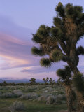 A Joshua Tree against the Twilight Sky Photographic Print by Marc Moritsch