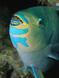 A Close View of a Parrotfish Showing the Beak-Like Mouth Photographic Print by Tim Laman