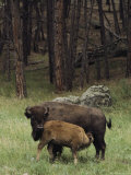 A Bison Cow Nurses Her Calf on the Edge of a Black Hills Wood Photographic Print by Annie Griffiths