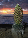Hawaiian Sunset with Flowering Silversword in the Foreground Photographic Print by Darlyne A. Murawski
