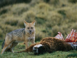 An Andean Fox Scavenges a Llama Carcass Photographic Print