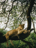 A Lion (Panthera Leo) Relaxes on a Tree Branch Photographic Print by Skip Brown