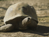 A Large Tortoise Ambles Across Dry Earth Photographic Print by Joy Tessman
