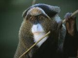 A Portrait of a Debrazzas Monkey Photographic Print by Joel Sartore