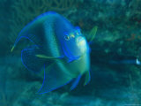 A Graceful Angelfish Swims in the Tropical Waters of Fiji Photographic Print by Tim Laman