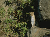 A Female Leopard at the Entrance to Her Den Photographic Print by Roy Toft