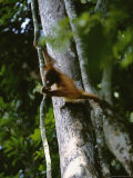 A Three-Year-Old Orangutan Swings on a Tree Vine Photographic Print by Tim Laman