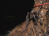 A Tarantula Sits on a Tree Trunk Near a Climbers Rope Photographic Print by Bill Curtsinger