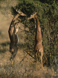 Two Gerenuks Stand on Their Hind Legs to Feed from the Top of a Bush Photographic Print by Roy Toft