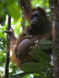 A Female Three-Week-Old Orangutan and its Mother Photographic Print by Tim Laman