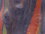 A Close View of the Bark of the Eucalyptus Tree Photographic Print