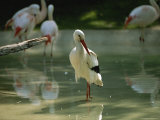 A European White Stork Wades with Chilean Flamingos in Shallow Pool Photographic Print by Joel Sartore