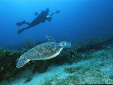 A Diver Swims Along Side an Endangered Hawksbill Turtle Fotografisk tryk af Brian J. Skerry