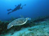 A Diver Swims Along Side an Endangered Hawksbill Turtle Photographic Print by Brian J. Skerry