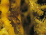 A Small Crab Hides Among Branches of Soft Coral Photographic Print by Tim Laman