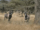 Three Beisa Oryxes in Kenyas Samburu National Game Reserve Photographic Print by Roy Toft