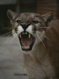 Close View of a Snarling Male Puma Photographic Print by Jason Edwards